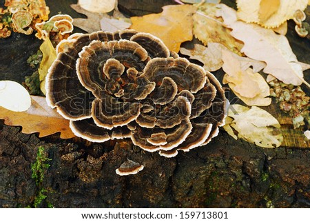 trametes versicolor mushroom  - stock photo