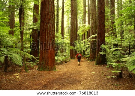 Tramper walking past giant trees in redwood forest - stock photo