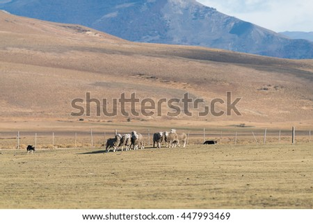 Tranning Collie to take care of sheeps on Farm - Argentina - stock photo