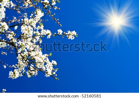 Tranquil scene  blossom plum tree by spring. - stock photo