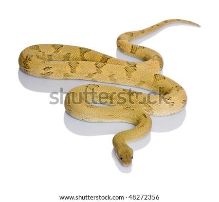 Trans-Pecos rat snake, Bogertophis subocularis, slithering against white background - stock photo