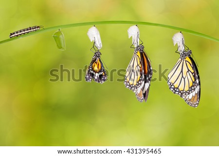 Transformation of common tiger butterfly emerging from cocoon with caterpillar - stock photo