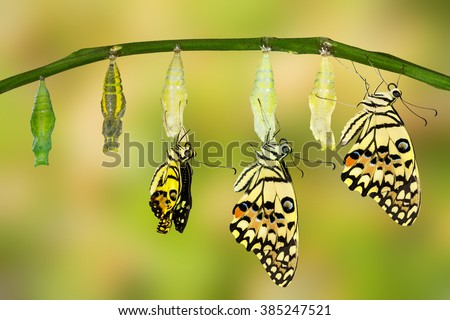Transformation of Lime Butterfly ( papilio demoleus ) - stock photo