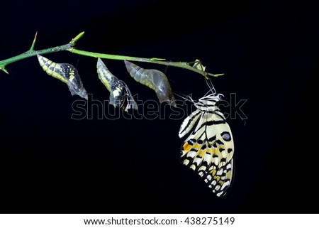 transformation of Lime Butterfly (papilio demoleus) on black background - stock photo