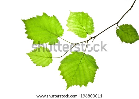 Translucent green leaves on a thin hazel twig isolated on white  - stock photo