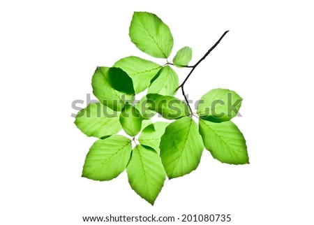 Translucent green leaves on a twig of beech tree isolated on white background  - stock photo