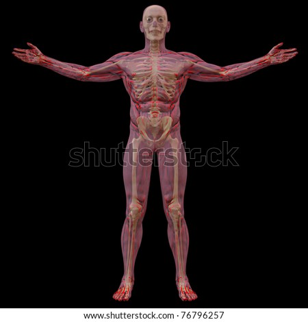 translucent human body with visible bones. isolated on black. - stock photo