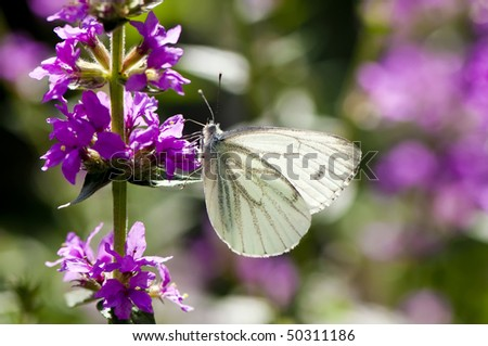 translucent white butterfly