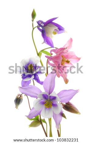 transparent columbine flowers - stock photo