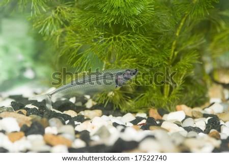 transparent fish - stock photo