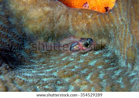 Transparent goby fish in hard coral