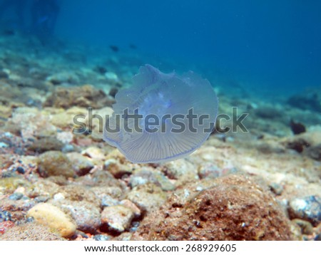 Transparent moon jellyfish floating near the sea bottom - stock photo