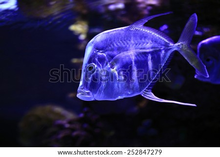 Transparent tropical fish in the blue water of the red sea - stock photo