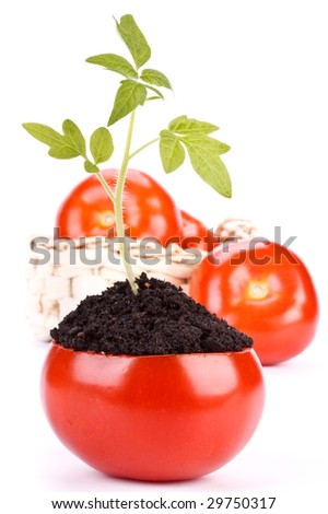 Transplant of a tree in a pot from fresh tomato on a white background. Concept for environment conservation. - stock photo
