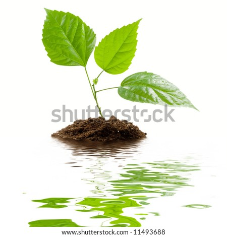 Transplant of a tree isolated on a white background. Clipping path included. - stock photo