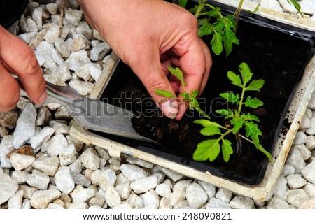 Transplanting Ailsa Craig tomato seedling. - stock photo