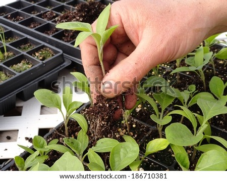 Transplanting plants inside a greenhouse