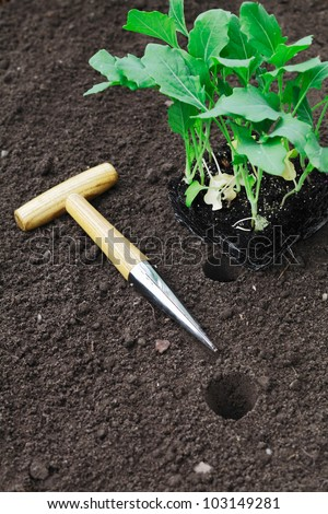 Transplanting seedlings into the garden with a smooth tapered auger for making neat holes in the soil - stock photo