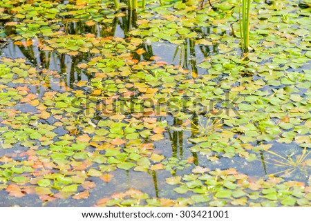 Trapa Natans, also called Water chestnut or Water caltrop floating in the Dnieper river in Kiev - stock photo