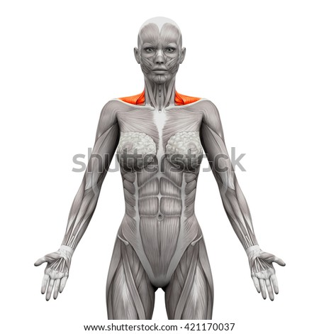 Trapezius Front Neck Anatomy Muscles Isolated Stock Illustration ...