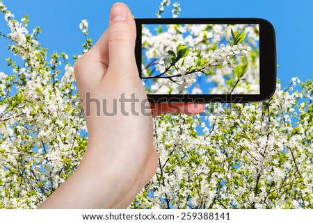 travel concept - tourist taking photo of cherry blossoms and white cherry flowers on mobile gadget in spring - stock photo