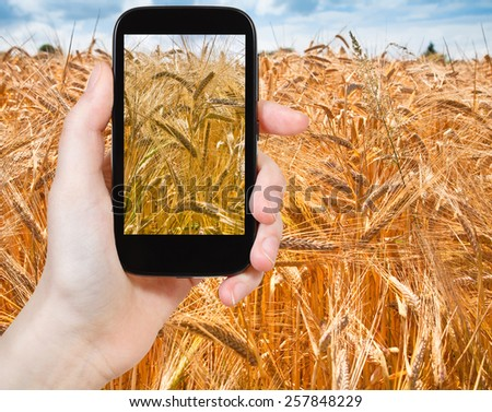 travel concept - tourist taking photo of golden wheat field on mobile gadget in France - stock photo