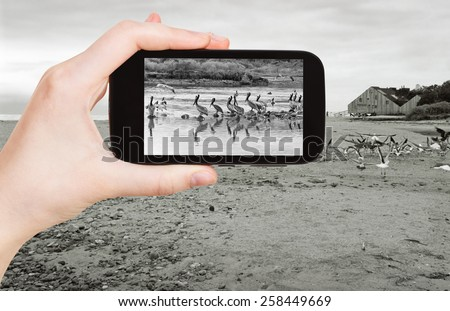 travel concept - tourist taking photo of Pelicans on Malibu beach on mobile gadget, California - stock photo