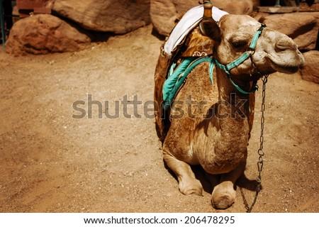 Travel vintage background. Camel sitting on a desert land. - stock photo