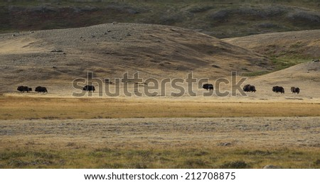Traveling musk oxen in arctic valley, Greenland - stock photo