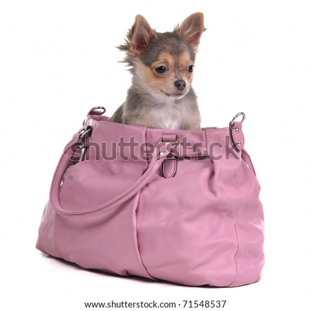 Traveller chihuahua puppy inside the bag, isolated - stock photo
