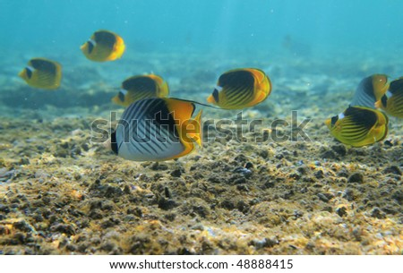 Treadfin butterflyfishes in red sea - Egypt