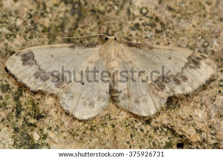 Treble brown spot (Idaea trigeminata). A delicate moth in the family Geometridae at rest