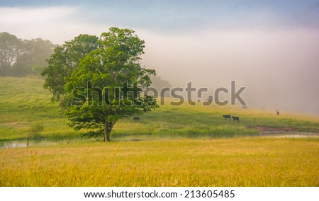 Tree and cattle in a farm field on a foggy morning in the rural Potomac Highlands of West Virginia. - stock photo