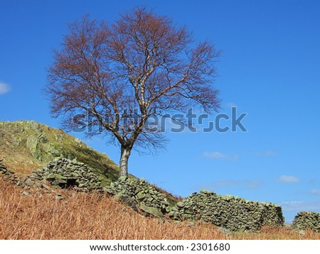Tree and dry stone wall on the Rigg