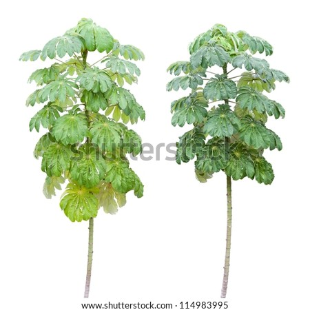 Tree and green leave isolate on white - stock photo