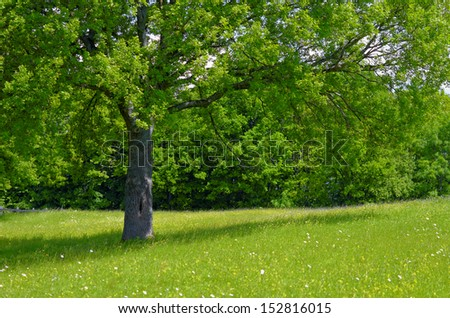 tree and meadow - stock photo