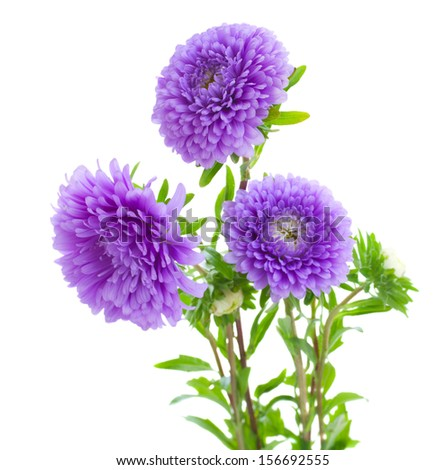 tree aster violet flowers isolated on white background - stock photo