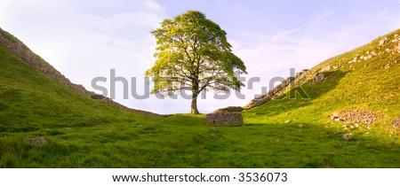 Tree at Hadrian's Wall - stock photo