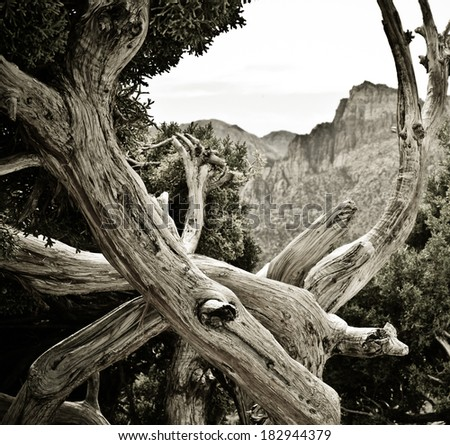 Tree at Red Rocks wilderness area outside of Las Vegas, Nevada. - stock photo