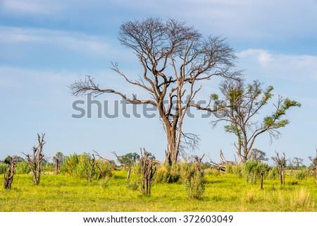Tree at the Okavango Delta (Okavango Grassland), One of the  Seven Natural Wonders of Africa, Botswana - stock photo