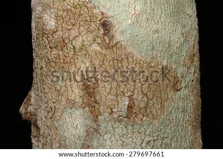 Tree bark texture in nature thailand - stock photo