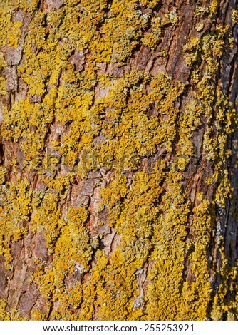 Tree bark with yellow and green foliose lichen in the evening sun - stock photo