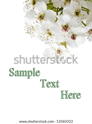 tree blossom isolated against white background