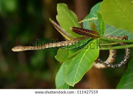 Tree Boa, Corallus hortulanus - stock photo