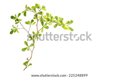 Tree branch and green leaf isolated on white background - stock photo