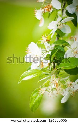 Tree branch covered with white beautiful florets - stock photo