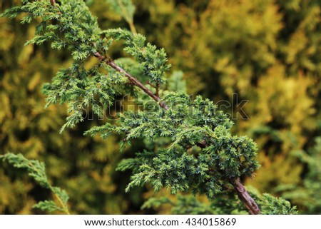Tree branch in nature. Macro. Thuja. Green background.