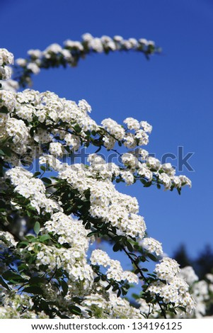 Tree branch with cherry flowers over natural green background