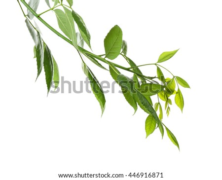 Tree branch with green leaves on white background