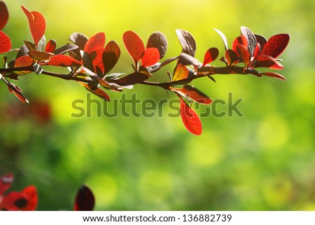 tree branch with red leaves - stock photo